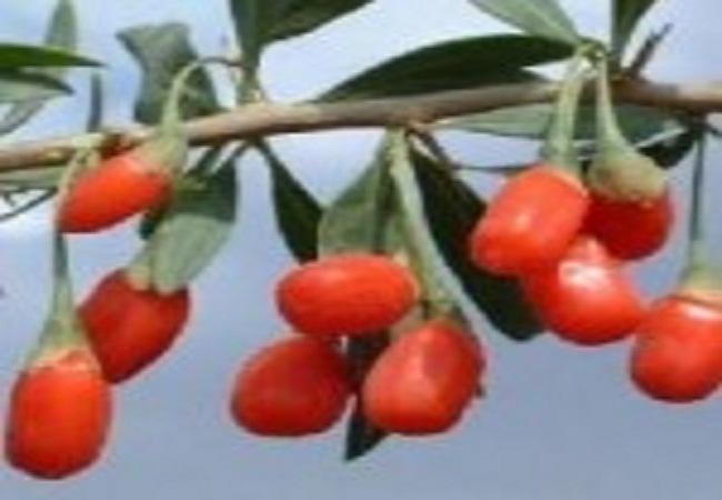 antioxidante considerado um forte aliado na prevenção do envelhecimento. Alto índice de vitamina c, proteínas e nutrientes como zinco e ferro.